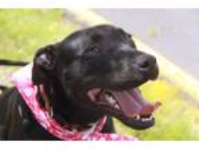 Adopt Darbie a Black Labrador Retriever