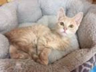 Adopt Larson/kk a Domestic Short Hair, Tabby
