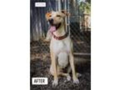 Adopt Mercy a Yellow Labrador Retriever