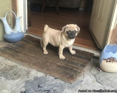 Pug puppies for good homes.