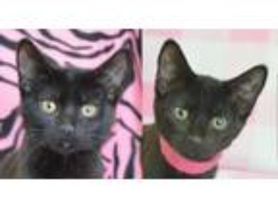 Adopt Choco and Dove-sweet as can be! a American Shorthair