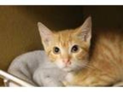 Adopt KITTEN2 a Orange or Red Tabby Domestic Shorthair / Mixed (short coat) cat