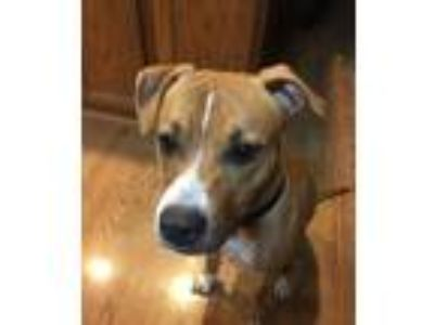 Adopt Maisey a Brindle - with White Mixed Breed (Medium) / Pit Bull Terrier /
