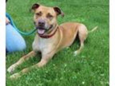 Adopt Cyrus a Red/Golden/Orange/Chestnut American Pit Bull Terrier / Mixed dog