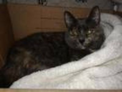 Adopt RAGAMUFFIN a Brown or Chocolate (Mostly) Domestic Shorthair / Mixed (short