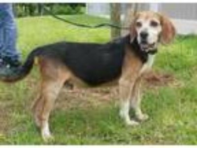 Adopt Woody a Brown/Chocolate Beagle / Mixed dog in Natchez, MS (25351260)