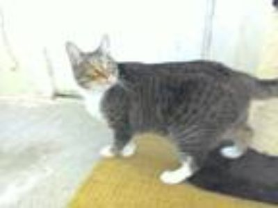 Adopt Rielly a Brown Tabby Domestic Shorthair (short coat) cat in Roslyn