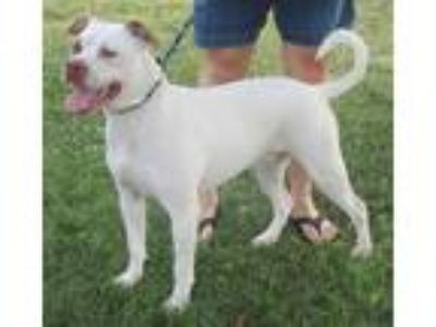 Adopt Seth a White - with Brown or Chocolate American Staffordshire Terrier /