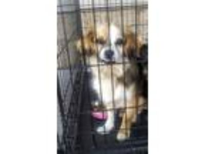 Adopt Mac a Brown/Chocolate - with White King Charles Spaniel / Mixed dog in