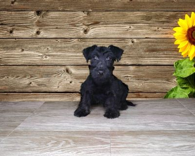Louie is a papered male Scottish Terrier!!