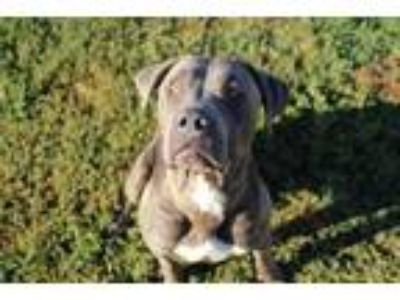 Adopt *JUNIOR a Gray/Silver/Salt & Pepper - with White American Pit Bull Terrier