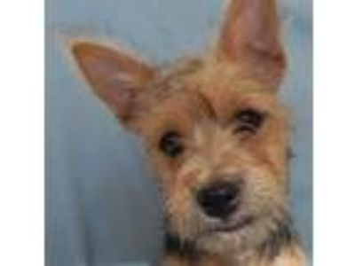 Adopt Cody - Sweet Puppy Breath a Yorkshire Terrier