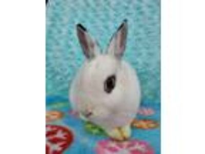 Adopt Gwendolyn a Dwarf Hotot / Mixed rabbit in San Diego, CA (23766929)