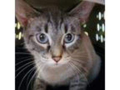 Adopt Lucy a Tan or Fawn American Shorthair / Domestic Shorthair / Mixed cat in