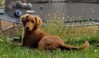 Goldendoodle PUPPY FOR SALE ADN-104714 - Bambi F1 smooth