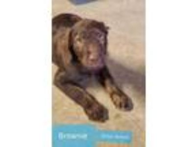 Adopt Brownie litter of 4 a Brown/Chocolate Labrador Retriever / Mixed dog in