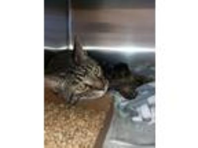 Adopt Ollie a Domestic Shorthair / Mixed cat in North Branch, NJ (25277621)