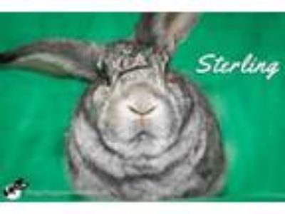 Adopt Sterling a Bunny Rabbit