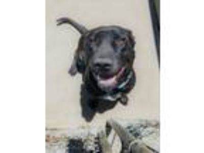 Adopt Daisy a Black - with White American Pit Bull Terrier / Labrador Retriever