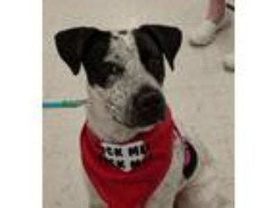 Adopt Joplin a White - with Black Blue Heeler / Cattle Dog / Mixed dog in