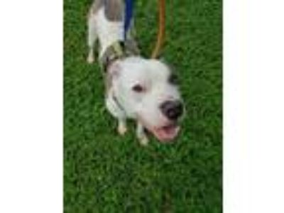 Adopt Loki a White American Pit Bull Terrier / Mixed dog in Terre Haute