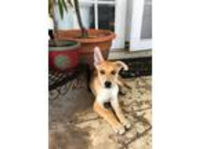 Adopt Groot Rico a Tan/Yellow/Fawn German Shepherd Dog / Siberian Husky / Mixed