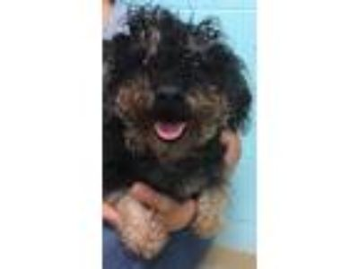 Adopt TROUBLE a Black - with Tan, Yellow or Fawn Poodle (Miniature) / Mixed dog
