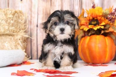 Morkie PUPPY FOR SALE ADN-104950 - Fifi Gorgeous Little Female Morkie Puppy