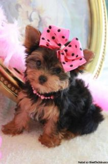 Teacup and toy yorkies Available