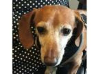 Adopt Buster - Courtesy Post - Contact Oregon Dachshund Rescue Inc.