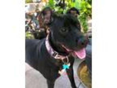 Adopt Coralee a Black - with White Labrador Retriever / Great Dane / Mixed dog