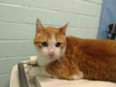 Adopt CALLE a Orange or Red (Mostly) Domestic Shorthair / Mixed (short coat) cat