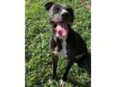 Adopt Sid Fostered (Debbie S) a Black - with White Pit Bull Terrier / Mixed dog