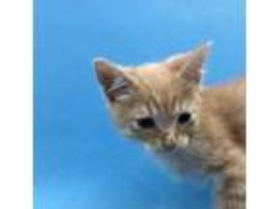 Adopt Pedro a Tan or Fawn Domestic Shorthair / Mixed cat in St.