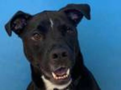 Adopt Aries a Black American Pit Bull Terrier / Mixed dog in Woodbury
