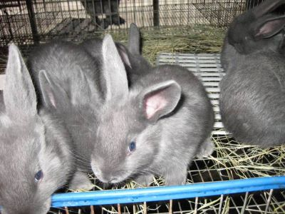 Pedigreed American Blue Rabbits