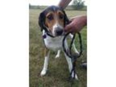 Adopt Cleffa a Tricolor (Tan/Brown & Black & White) Border Collie / Coonhound