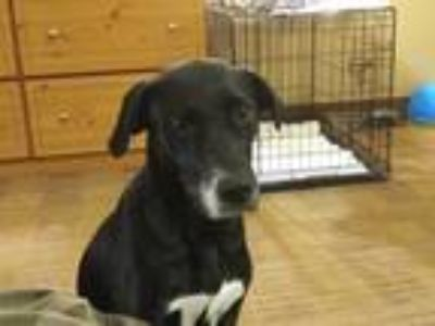 Adopt Eilly a Black - with White Labrador Retriever / Plott Hound dog in Reston