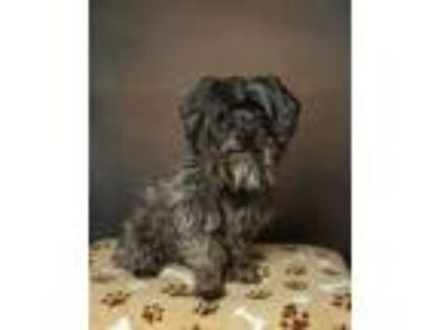 Adopt PISTON a Cairn Terrier