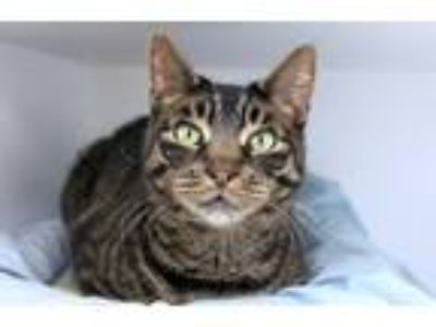 Adopt Piper a Domestic Shorthair / Mixed cat in East Brunswick, NJ (25548210)
