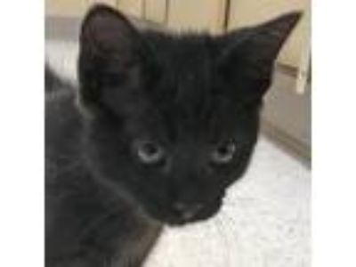 Adopt Licorice *Available Thursday 6/13 a All Black Domestic Shorthair /