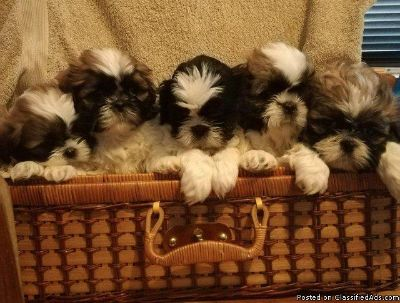 shih tzu puppies for a lovely home for more information contact me