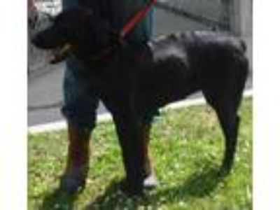 Adopt Asia a Black Mixed Breed (Large) / Mixed dog in St.