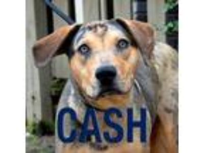Adopt Cash a Catahoula Leopard Dog