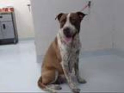 Adopt MARLEY a Brown/Chocolate - with White Australian Cattle Dog / Mixed dog in