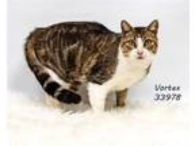 Adopt Vortex a Domestic Shorthair / Mixed cat in Lake Jackson, TX (24663616)
