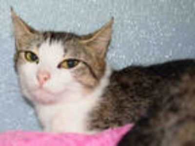 Adopt GABBY a Brown Tabby Domestic Shorthair / Mixed (short coat) cat in