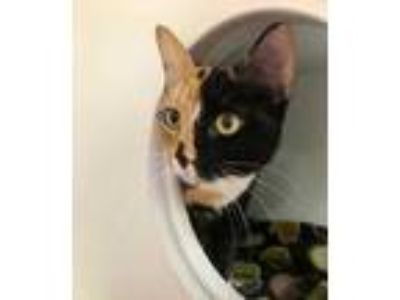 Adopt Erica Jane a All Black Domestic Shorthair / Domestic Shorthair / Mixed cat