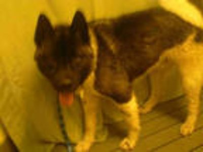 Adopt a Black - with White Akita / Mixed dog in Upper Marlboro, MD (25358133)
