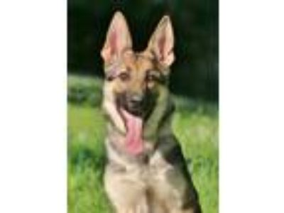 Adopt Sedona a Black - with Tan, Yellow or Fawn German Shepherd Dog / Mixed dog